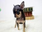 家养一窝纯种吉娃娃可以签协议 来家里看狗父母