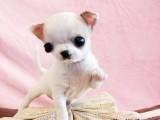 高品质出售吉娃娃宠物狗狗 保纯种 保健康