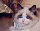 家养纯种宠物猫布偶猫海豹双色妹妹不绝育