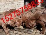 云浮比特犬价格,出售纯种比特犬