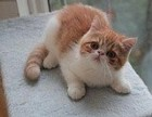 江门纯种加菲猫价格 纯种加菲猫多少钱一只 江门买加菲猫必选