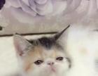猫舍繁殖的梵纹加菲