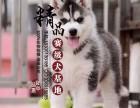 三把火哈士奇幼犬多少钱一只 天津哪里有卖的