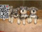 哪里出售雪纳瑞犬 纯种雪纳瑞犬多少钱