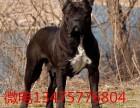 两个月护卫犬卡斯罗犬多少钱一只价格图片