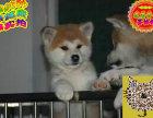 哪里有卖西施犬 出售纯种西施犬犬舍在哪里