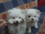 重庆出售 博美犬,疫苗驱虫已做视频