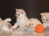 【~特价】高品质红白净梵加菲猫 加菲猫1900元