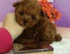 超級可愛的泰迪犬出售,長不大的顏色很純正的