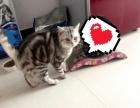 美短借配 标准斑美短虎斑猫对外借配