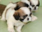 精品西施犬包纯种保健康签协议出售全国可飞可上门