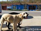 带证书拉布拉多种狗常年对外借配常年出售幼犬