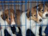 适合家庭饲养苏格兰牧羊犬多少钱 要纯一点的