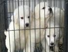 纯种的大白熊多少钱 宠物店的狗靠谱吗
