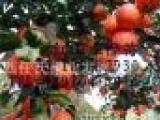 高产江西甜橙苗 血橙苗 纽荷尔脐橙苗 卡拉卡拉红肉脐橙苗 夏橙苗
