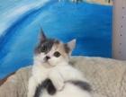 郑州本地 蓝白三花 英国短毛猫 求带走 可刷卡