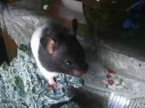 赠送仓鼠一只