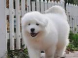 純種微笑天使薩摩耶幼犬雪白無水銹骨骼粗毛量足