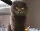 自家猫咪生的纯种蓝猫接受预定