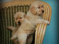 纯种金毛犬做好了疫苗保证纯种健康 欢迎上门挑选