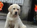 大骨架拉布拉多幼犬,签合同包健康纯种包养活