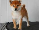 哪里有纯种柴犬卖 柴犬多少钱 柴犬图片