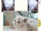 宠物猫咪异短加菲猫幼猫家养红虎斑纯种加菲异国短毛猫出售