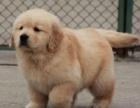 大头嘴宽美系金毛幼犬 温顺可爱 可以送狗到家挑选