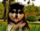 阿拉斯加犬性格忠实活泼 充满活力,忍耐力强 身体健