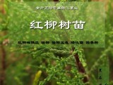 怪柳苗 柽柳苗 红柳树苗批发 护坡绿化植物 街道绿化植物