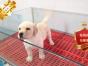专业繁殖拉布拉多养殖基地 可以来犬舍里挑选