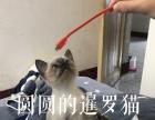 可爱家养宠物暹罗猫求带走