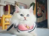 长毛高地银点幼猫蓝眼纯白色可爱小猫咪活物