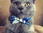 北京哪里有高品质保障 诚信服务蓝猫 布偶 金吉拉 英美短等