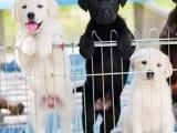 东莞塘厦出售宠物狗纯种拉布拉多幼犬狗狗出售包纯种包健康
