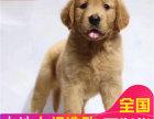 金毛犬 贪便宜的话必买到病狗 想买好狗请点进来看