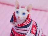 加拿大无毛猫幼猫斯芬克斯猫咪活体蓝皮白皮黑皮幼崽