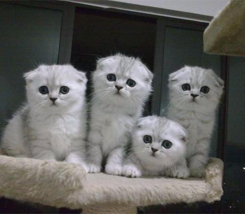 5图 出售品相极佳纯种折耳猫 蓝猫蓝白渐层苏格兰折耳猫