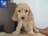 纯种可卡犬 保证纯种 健康 终身质保 饲养指导