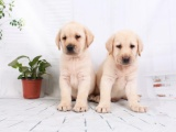 东莞谢岗出售宠物狗,拉布拉多幼犬狗狗出售,包纯种,包健康
