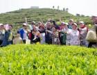 碧螺春茶叶采摘游活动 苏州西山农家乐包吃住超低价