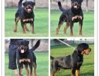 正规犬舍专业繁殖精品罗威纳签协议售后无忧有保障