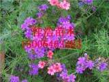 市场上具有口碑的美女樱在哪里可以找到——羽扇豆种植基地