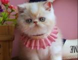 上海广州深圳北京一只美短猫多少钱 淘宝搜:双飞猫