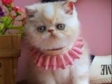 杭州南京苏州宁波宠物加菲金吉拉豹蓝暹罗无毛猫价格 双飞猫