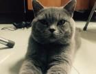 北京市最大养殖基地赛级 蓝猫幼猫 质保三年亲选可送货签署合同