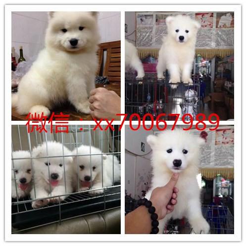 北京狗场直销拉布拉多,一只也是批发价,签协议保健康
