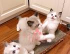 布偶猫深圳哪里有卖的 布偶猫价格 布偶猫多少钱