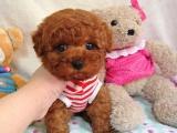 武汉出售纯种泰迪贵宾犬 茶杯泰迪 玩具泰迪 迷你型红白黑灰
