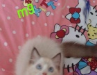 超粘人的布偶猫特价转让